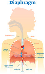 Diaphragm anatomical vector illustration diagram, educational medical scheme .