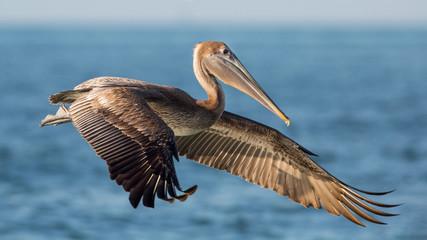 Brown pelican in flight (Pelecanus occidentalis), Estero Lagoon, Florida