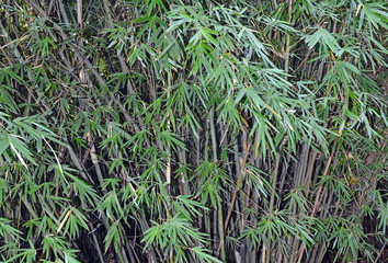 Bamboo, native to East Asia and a member of the grass family is one of the fastest growing plants on earth