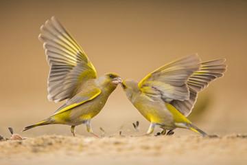Streitende Grünfinken
