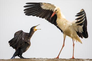 Kormoran vs Weißstorch