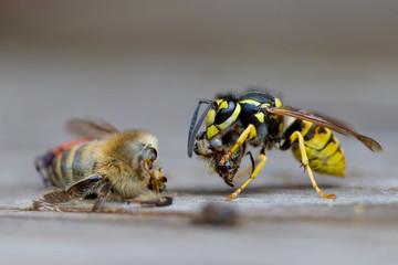 Bienensterben Wespe frisst eine Biene