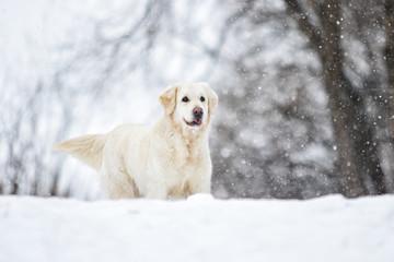 golden retriever dog in winter park