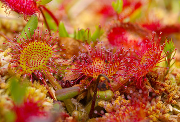 Detailed view of a sundew