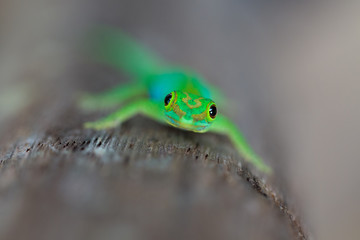 Grüner Seychellen Gecko