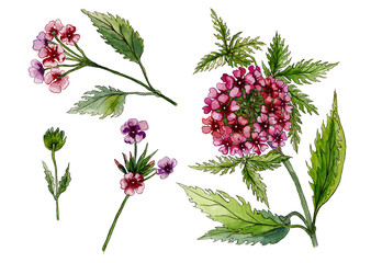 Beautiful pink flowers on a stem. Detailed floral set (lantana flowers, leaves, buds). Isolated on white background. Watercolor painting.
