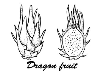 Dragon Fruit vector illustration.Botanical illustration of fruits. Vector illustration with sketch fruit.
