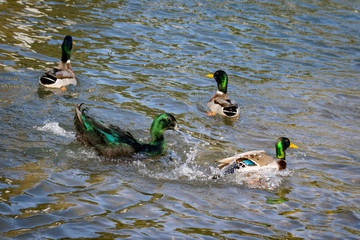Cayuga duck, green iridescent feathers with dark coloured beak, with male drake mallard ducks