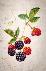 A branch of blackberry - watercolor painting. Black and red berries with leaves on vintage textured background.