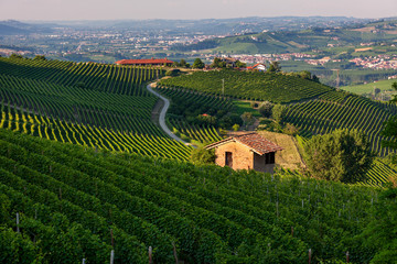 Green vineyards of Barolo, Italy.