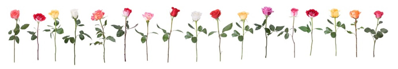 Single stem multi colored roses isolated on white