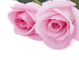 Pink roses isolated on white