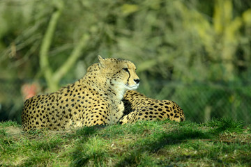 Gepard, Geparden Paar