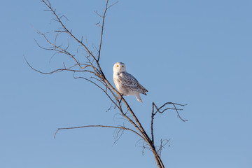 Wall Mural - Snowy Owl in Branches
