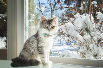 adorable siberian kitten cat domestic animal pet indoors