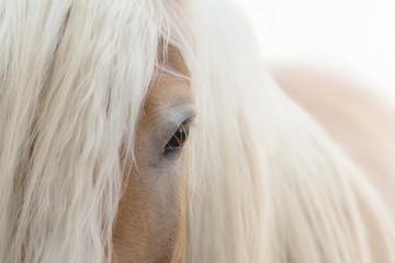 Fototapeten Pferde Haflinger Pferd
