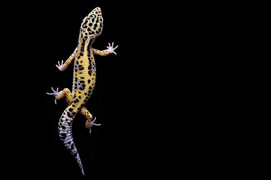 Leopard gecko on black background. Lizard top view