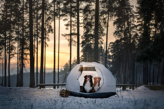Two dogs in a tent. Hiking in winter forest