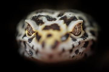 Head of common leopard gecko. Closeup dragon head