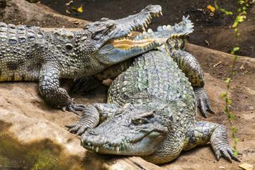Crocodiles in a Zoo