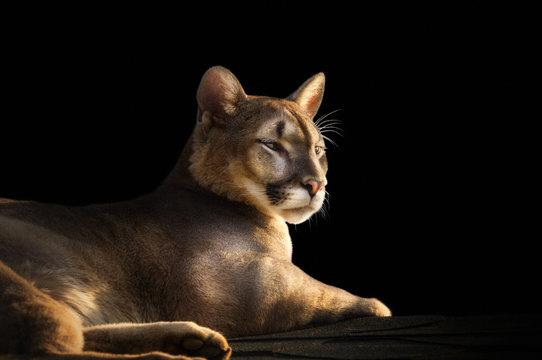 cougar portrait on black background