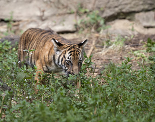 Tiger Cub in Underbrush