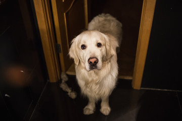 Golden retriever dog standing in a bathroom looking at camera