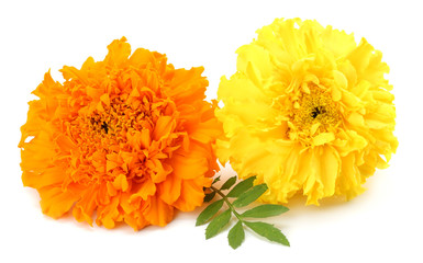 yellow Marigold flower, Tagetes erecta, Mexican marigold, Aztec marigold, African marigold isolated on white background