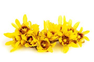Wintersweet or Chimonanthus flowers