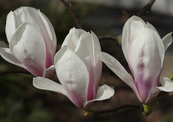 Flowering magnolia blossoms