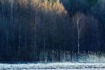 Foto op Canvas Bos Brzozowy zagajnik o wschodzie słońca.