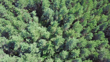 Beautiful panoramic over the tops of pine forest. Clip. Top view of the pine forest. Nature background