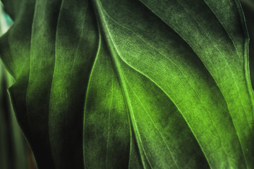 Green plant leaf texture, macro shot. Nature background, spring flora Wall mural
