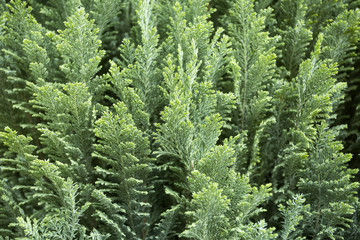Pine blue book - Juniperus