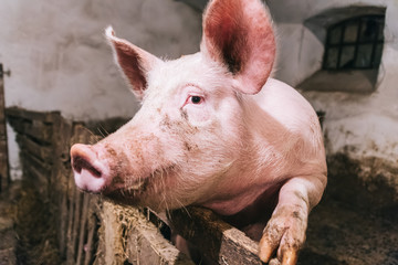 Beautiful portrait of a pink pig in a sty