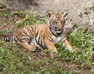 Tiger Cub Laying Down for a Rest
