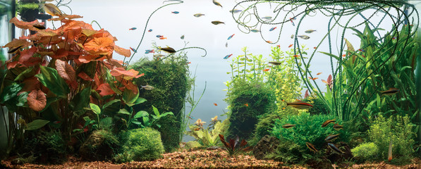 Panoramic view of planted tropical fresh water aquarium with white background