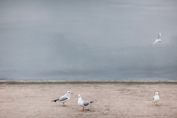 Seagulls are sitting on the water. Overcast. Seagulls on the sea coast.
