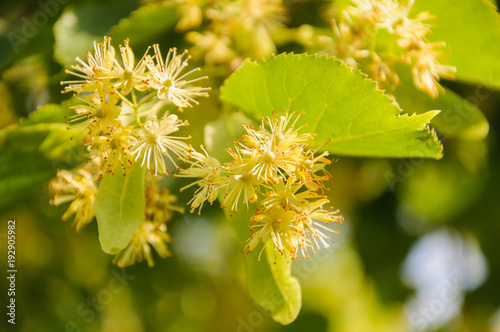 Flowering large leaf linden tilia the branches are covered with flowering large leaf linden tilia the branches are covered with yellow flowers mightylinksfo