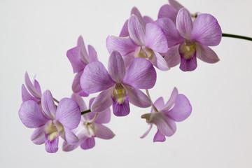 Orchid Purple ZK