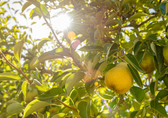 Ripe, yellow, Bartlett pear ready to be picked from the tree,with sun flare