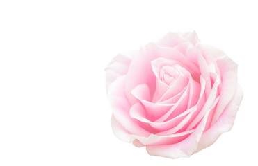 Pink Rose flower and floral soft blur background in pastel tones.
