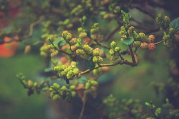 Mulberries on tree