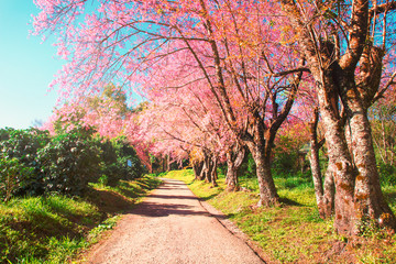In a row cherry blossom trees and pathway nature landscape backgroud