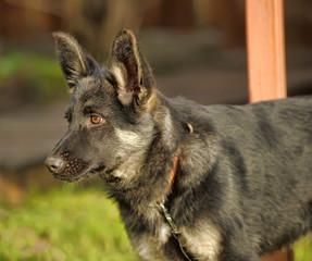 shepherd puppy on grass background