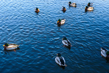 A flock of freshwater ducks swims in the lake.