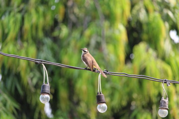 Yellow vented Bulbul on light wire