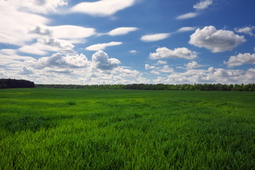 Green field and beautiful blue cloudy sky with light clouds. Agricultural landscape. Wide photo.