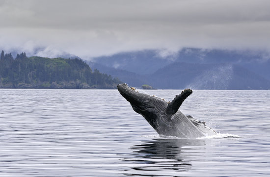 A big whale breaching in the alaskan ocean with water splash