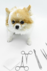 Pomeranian dog sitting on white floor with blur surgical materials, artery forceps and cramps. Veterinary, surgery, medicine, pet, animals, health care concept